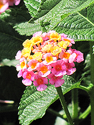 Lantana (Lantana camara) at Fernwood Garden Center
