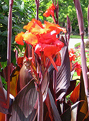 Red King Humbert Canna (Canna 'Red King Humbert') at Fernwood Garden Center