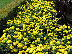 Inca Yellow Marigold (Tagetes erecta 'Inca Yellow') at Fernwood Garden Center