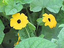 Black-Eyed Susan Vine (Thunbergia alata) at Fernwood Garden Center