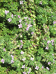 Pink Chintz Creeping Thyme (Thymus praecox 'Pink Chintz') at Fernwood Garden Center