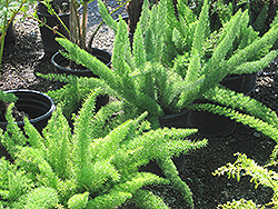 Myers Foxtail Fern (Asparagus densiflorus 'Myers') at Fernwood Garden Center