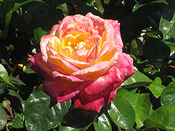 Love And Peace Rose (Rosa 'Love And Peace') at Fernwood Garden Center