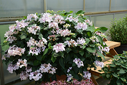 Let's Dance® Diva! Hydrangea (Hydrangea macrophylla 'SMHMLDD') at Fernwood Garden Center