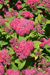 Double Play® Red Spirea (Spiraea japonica 'SMNSJMFR') at Fernwood Garden Center