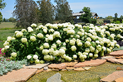 Incrediball® Hydrangea (Hydrangea arborescens 'Abetwo') at Fernwood Garden Center