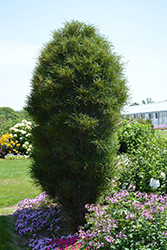 Fine Line® Buckthorn (Rhamnus frangula 'Ron Williams') at Fernwood Garden Center