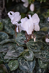 Smartiz Pure White Cyclamen (Cyclamen 'Smartiz Pure White') at Fernwood Garden Center