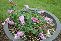 Pugster® Pink Butterfly Bush (Buddleia 'SMNBDPT') at Fernwood Garden Center