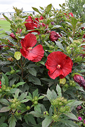 Cranberry Crush Hibiscus (Hibiscus 'Cranberry Crush') at Fernwood Garden Center