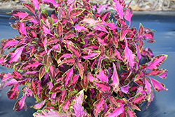 Stained Glassworks Luminesce Coleus (Solenostemon scutellarioides 'Luminesce') at Fernwood Garden Center