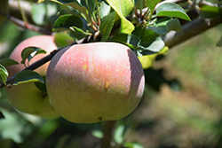 Fuji Apple (Malus 'Fuji') at Fernwood Garden Center