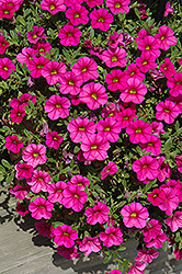Million Bells® Trailing Magenta Calibrachoa (Calibrachoa 'Million Bells Trailing Magenta') at Fernwood Garden Center