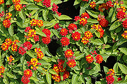 Little Lucky™ Red Lantana (Lantana camara 'Little Lucky Red') at Fernwood Garden Center