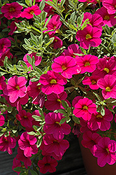 Million Bells® Bouquet Brilliant Pink Calibrachoa (Calibrachoa 'Million Bells Bouquet Brilliant Pink') at Fernwood Garden Center