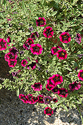 Superbells® Blackberry Punch Calibrachoa (Calibrachoa 'Superbells Blackberry Punch') at Fernwood Garden Center