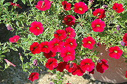 Superbells® Red Calibrachoa (Calibrachoa 'Superbells Red') at Fernwood Garden Center
