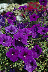 Supertunia® Mini Blue Petunia (Petunia 'Supertunia Mini Blue') at Fernwood Garden Center