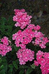 Lanai® Upright Pink Verbena (Verbena 'Lanai Upright Pink') at Fernwood Garden Center
