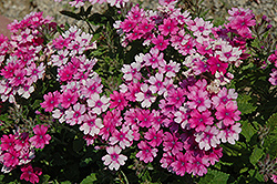 Lanai® Upright Bright Rose Verbena (Verbena 'Lanai Upright Bright Rose') at Fernwood Garden Center