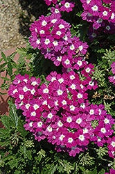 Lanai® Upright Blue with Eye Verbena (Verbena 'Lanai Upright Blue with Eye') at Fernwood Garden Center