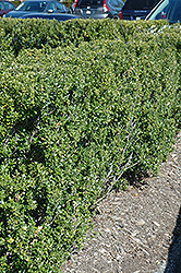 Steeds Japanese Holly (Ilex crenata 'Steeds') at Fernwood Garden Center