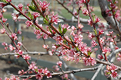Redhaven Peach (Prunus persica 'Redhaven') at Fernwood Garden Center