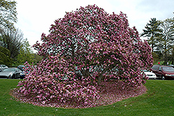 Betty Magnolia (Magnolia 'Betty') at Fernwood Garden Center