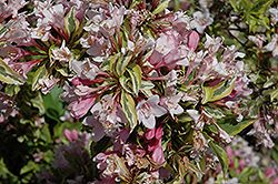 Rainbow Sensation® Weigela (Weigela florida 'Kolmagira') at Fernwood Garden Center