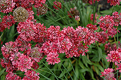 Ballerina Red False Sea Thrift (Armeria pseudarmeria 'Ballerina Red') at Fernwood Garden Center