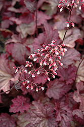 Berry Smoothie Coral Bells (Heuchera 'Berry Smoothie') at Fernwood Garden Center