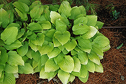 Fire Island Hosta (Hosta 'Fire Island') at Fernwood Garden Center