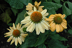Aloha Coneflower (Echinacea 'Aloha') at Fernwood Garden Center