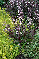 Dark Towers Beard Tongue (Penstemon 'Dark Towers') at Fernwood Garden Center