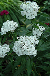 White Sweet William (Dianthus barbatus 'White') at Fernwood Garden Center