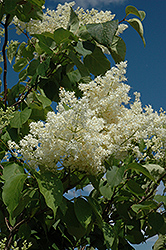 Ivory Silk Tree Lilac (tree form) (Syringa reticulata 'Ivory Silk (tree form)') at Fernwood Garden Center