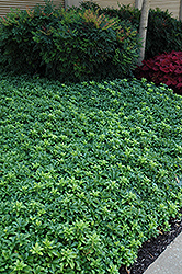 Green Sheen Japanese Spurge (Pachysandra terminalis 'Green Sheen') at Fernwood Garden Center