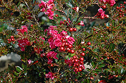 Tightwad Red Crapemyrtle (Lagerstroemia indica 'Whit V') at Fernwood Garden Center