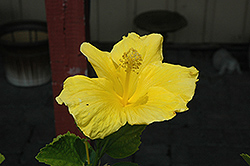 Yellow Hibiscus (Hibiscus rosa-sinensis 'Yellow') at Fernwood Garden Center
