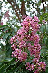 Biloxi Crapemyrtle (Lagerstroemia 'Biloxi') at Fernwood Garden Center