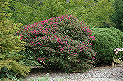 Pocomoke Crapemyrtle (Lagerstroemia 'Pocomoke') at Fernwood Garden Center