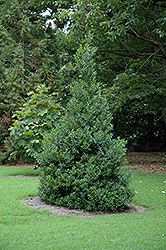 Oakland™ Holly (Ilex 'Magland') at Fernwood Garden Center