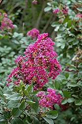 Twilight Crapemyrtle (Lagerstroemia indica 'Twilight') at Fernwood Garden Center