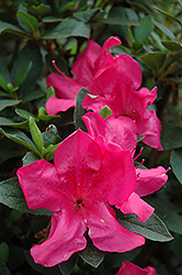 Encore® Autumn Sangria™ Azalea (Rhododendron 'Roblee') at Fernwood Garden Center
