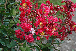 Red Rooster Crapemyrtle (Lagerstroemia indica 'PIILAG III') at Fernwood Garden Center