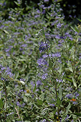 Bluebeard (Caryopteris x clandonensis) at Fernwood Garden Center