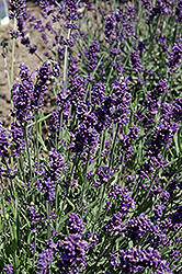 French Perfume Lavender (Lavandula angustifolia 'French Perfume') at Fernwood Garden Center