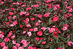 SunPatiens® Compact Deep Rose New Guinea Impatiens (Impatiens 'SunPatiens Compact Deep Rose') at Fernwood Garden Center