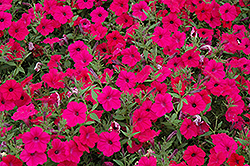 Tidal Wave Cherry Petunia (Petunia 'Tidal Wave Cherry') at Fernwood Garden Center