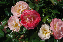 Peach Drift® Rose (Rosa 'Meiggili') at Fernwood Garden Center